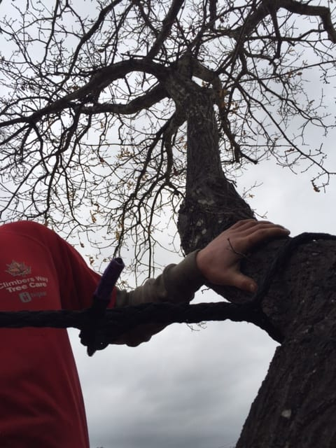 Tree bracing services in Hampshire