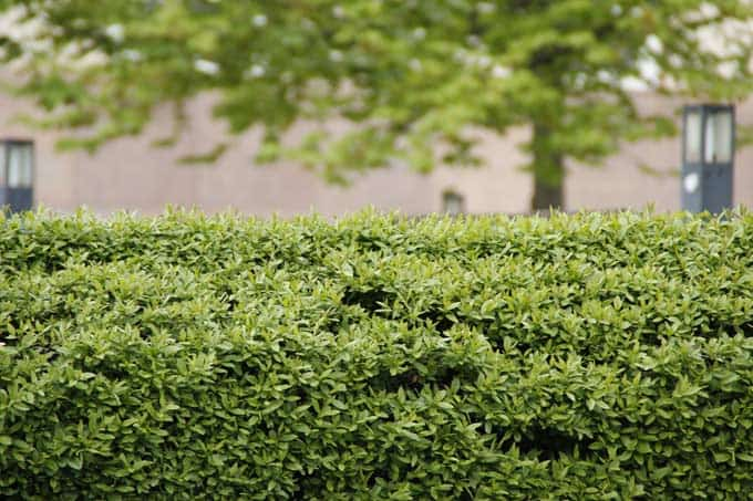 Top of a formal hedge