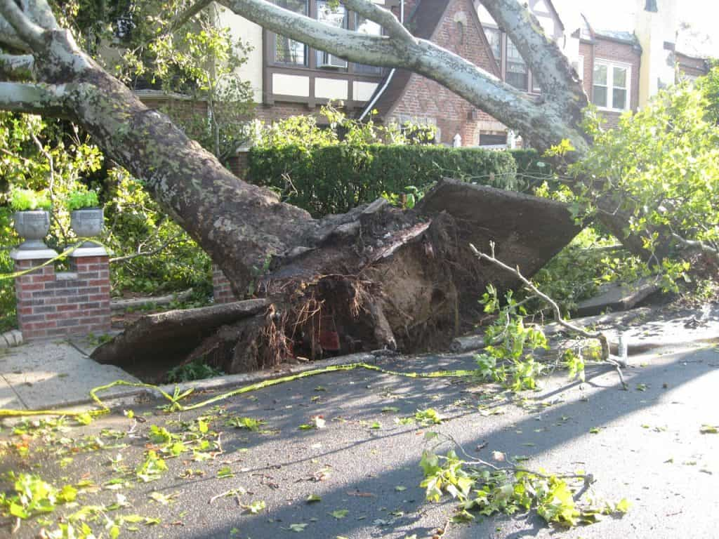 Two trees that have been damaged by strong winds causing damage to the footpath.
