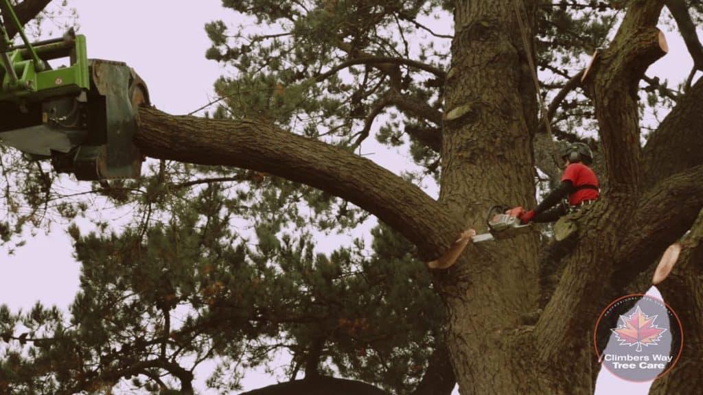 Tree surgeon dismantling a very mature tree.