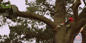 Watch Us Take Down a Damaged Dangerous Tree