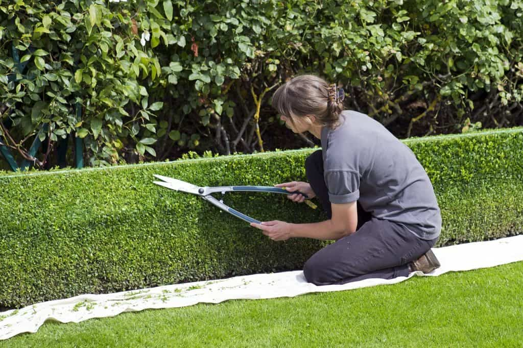 A formal box hedge being trimmed. There is a taut piece of string above the hedge to act as a cutting guide.