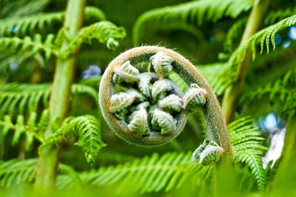 A fern uncurling in the shade.
