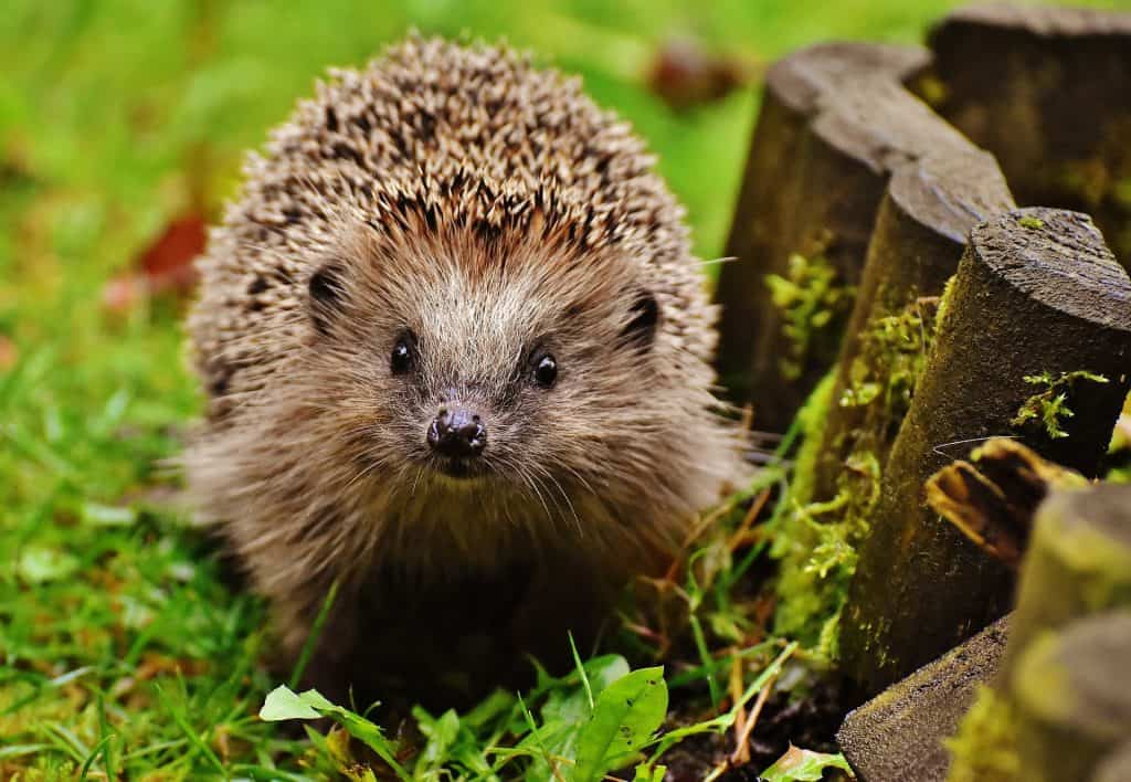 Young hedgehog looking at the camera