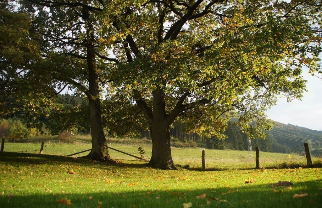 Oak Trees in a Field