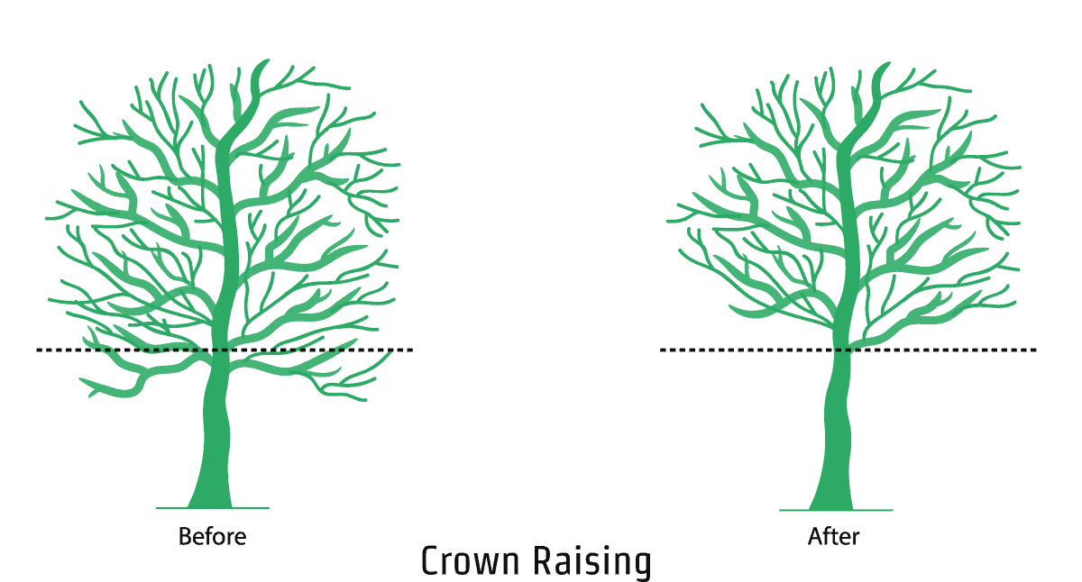 Crown Raising - An illustration showing the crown raising process