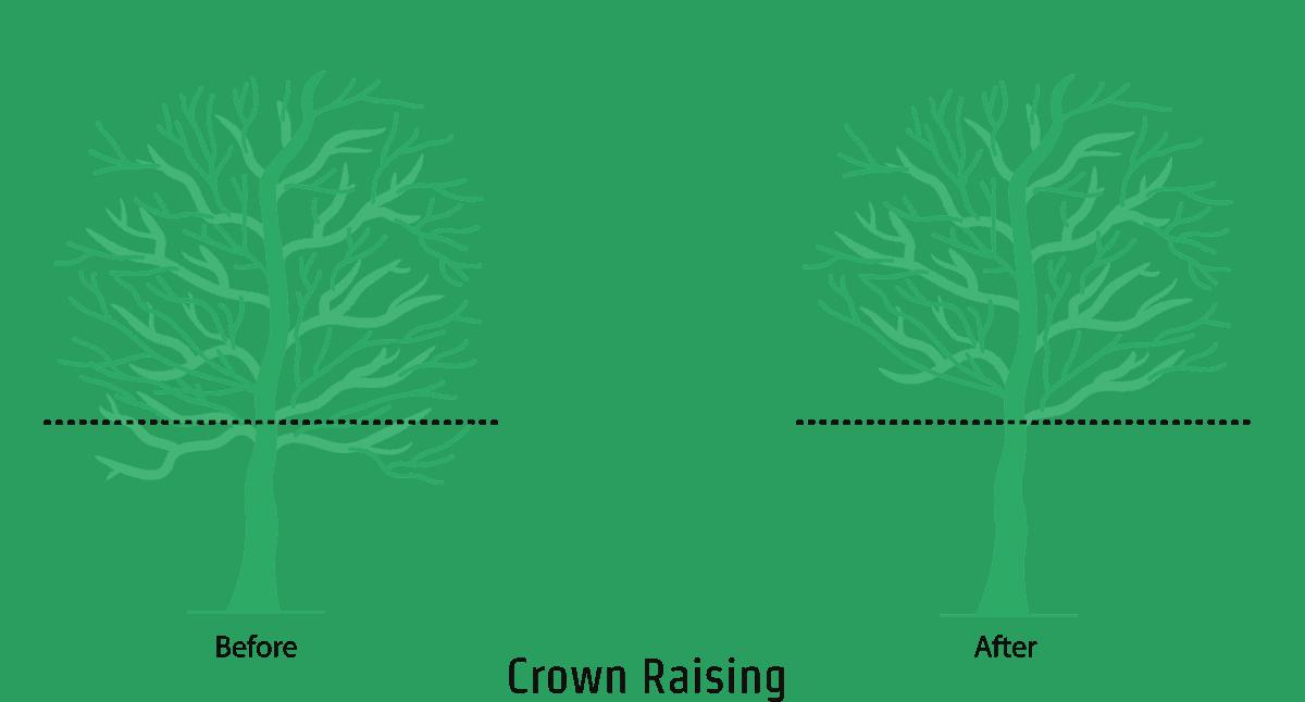 Crown Raising - An illustration showing the crown raising process