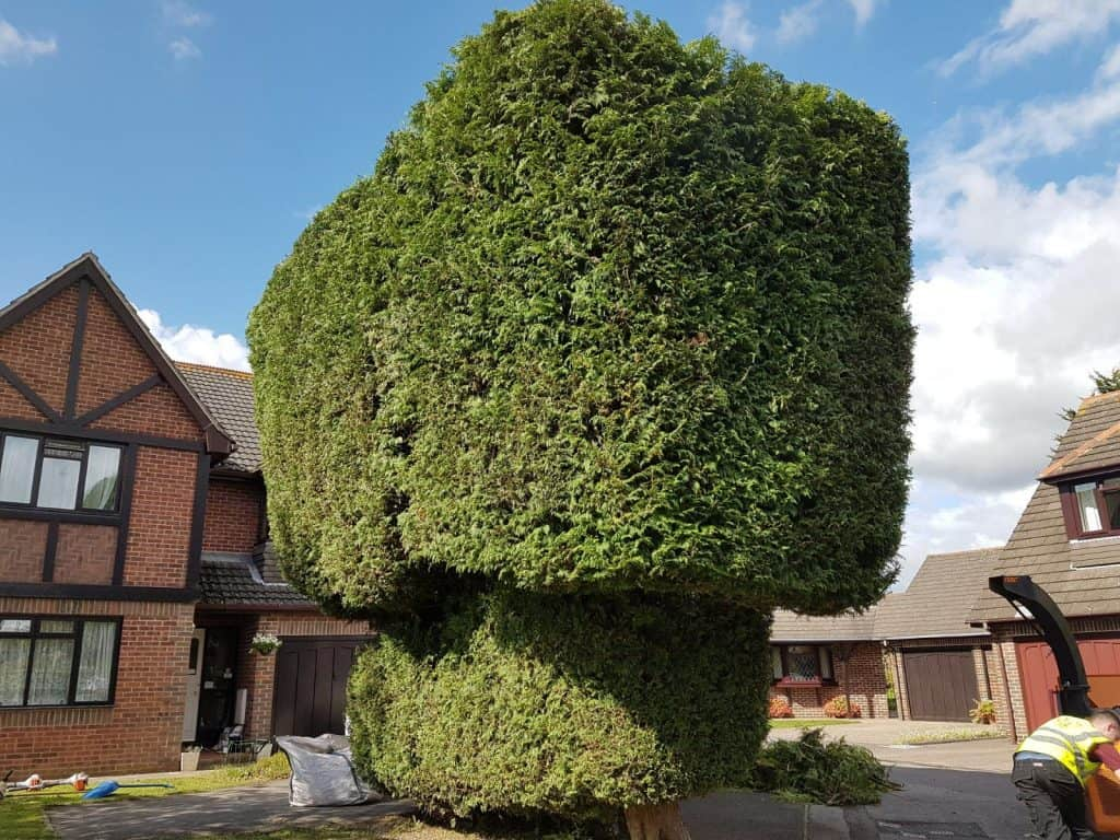 An example of finished hedge work.