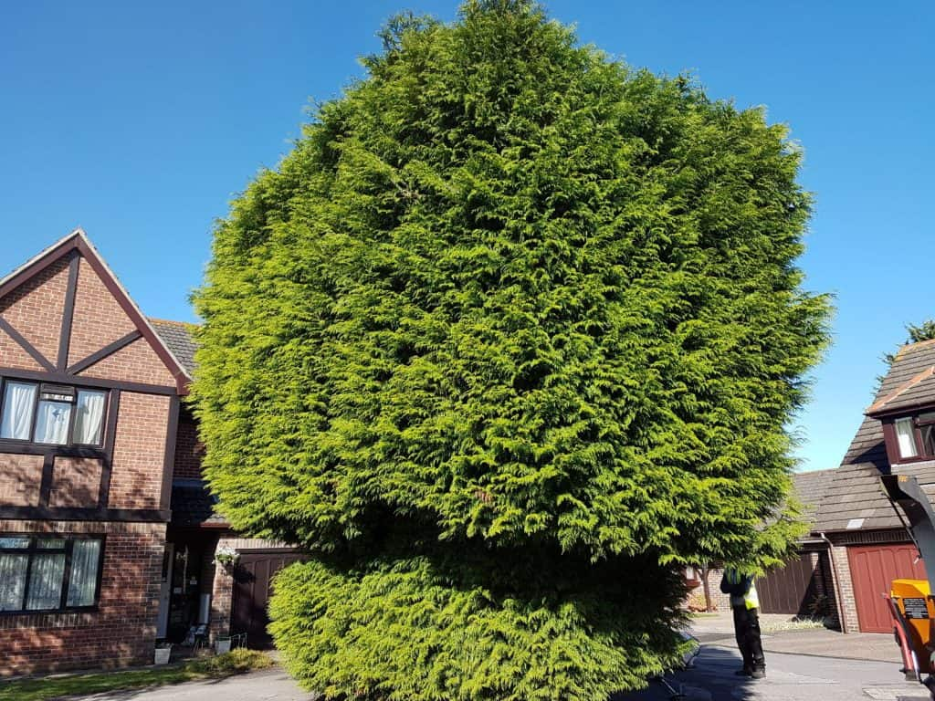 Untrimmed conifer bush, an example of hedge trimming work