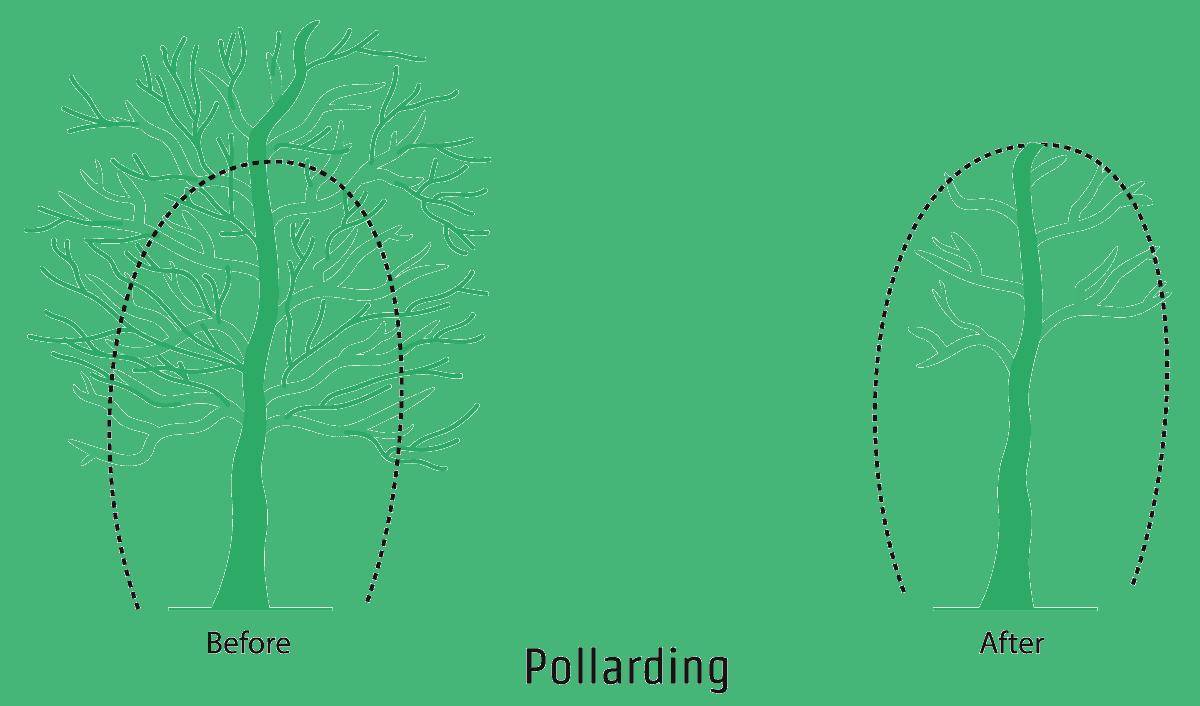 Pollarding - An illustration showing the pollarding process