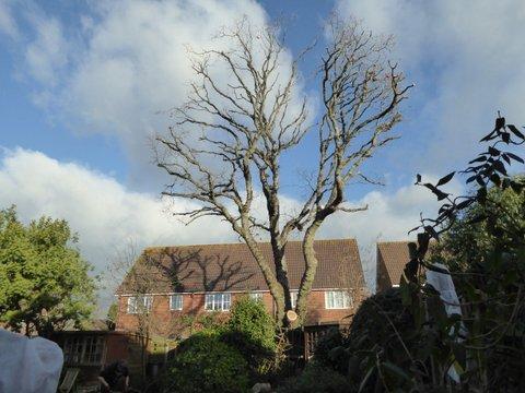 Climbers Way Tree Care pruning in Southampton