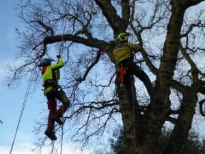 Climbers Way Tree Care pruning in Banbury