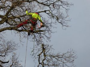 Climbers Way Tree Care pruning in Bicester