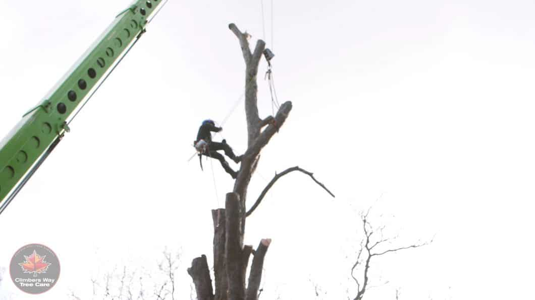 Crane assisted dismantle by Climbers Way Tree Care