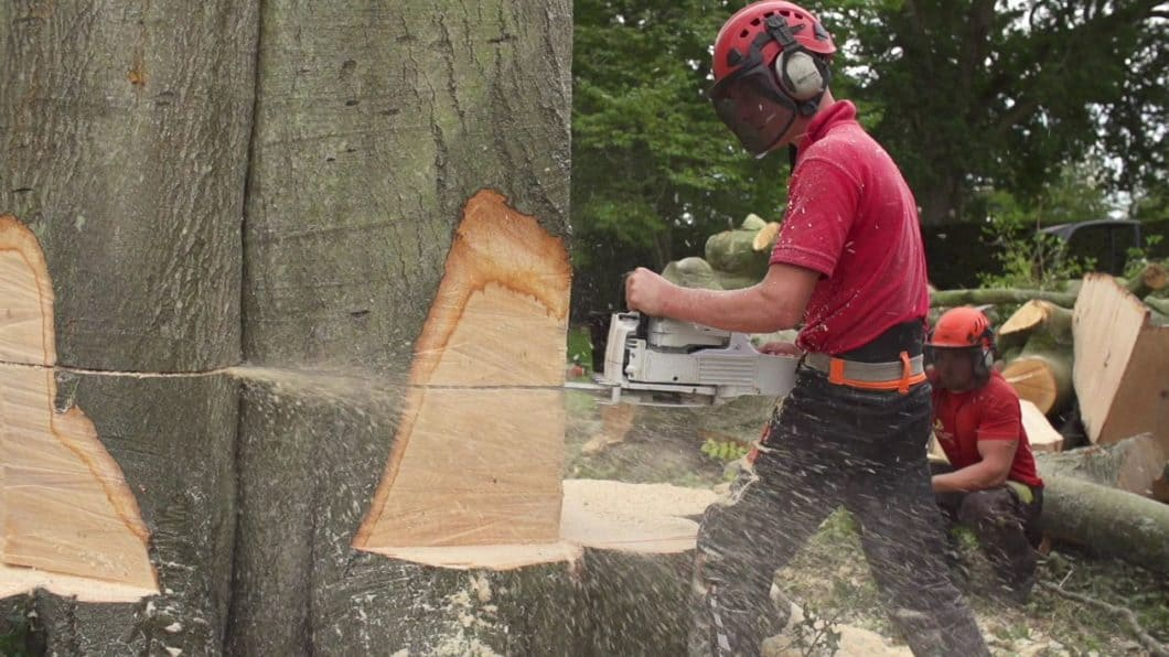 Portsmouth Tree Surgeon felling giant tree