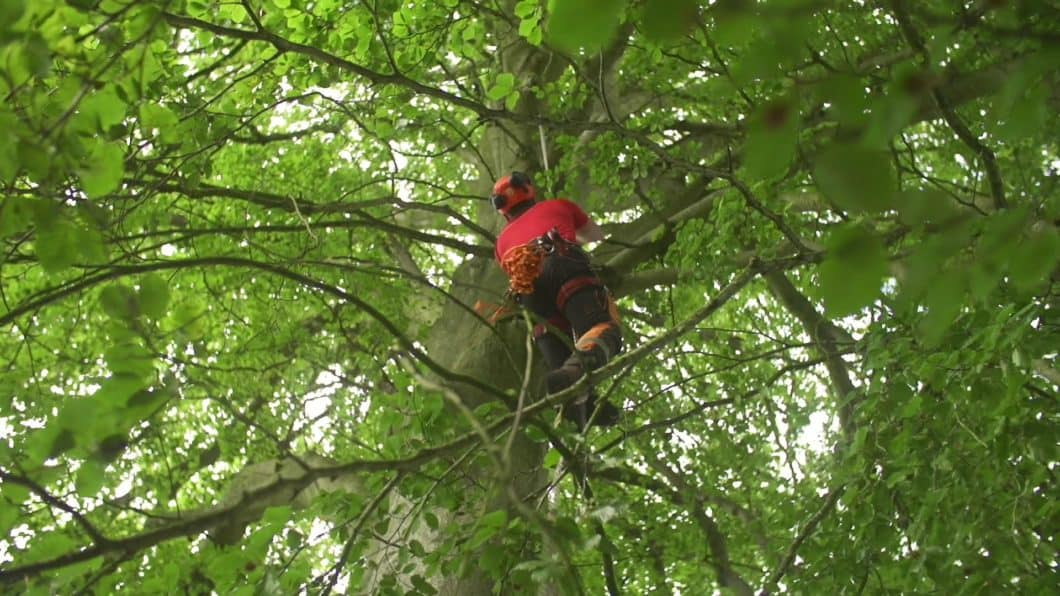 A tree surgeon in Andover climbing inside the canopy of a tree
