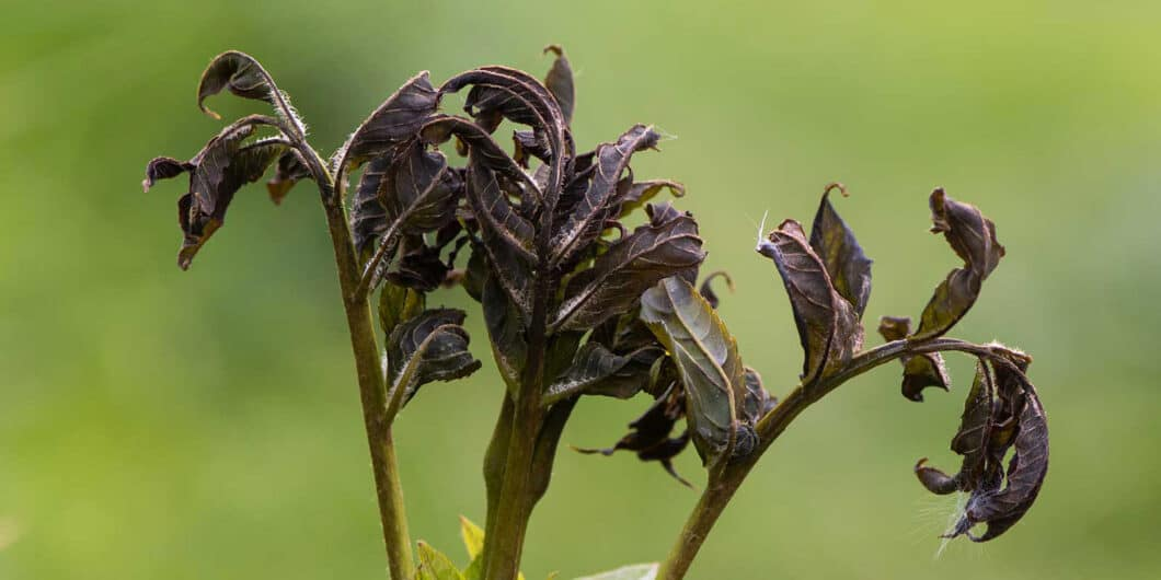 Ash Dieback - Example of ash dieback which is now found in Hampshire and Southampton