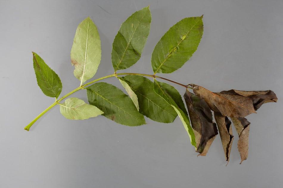 Wilting of leaves caused by ash dieback