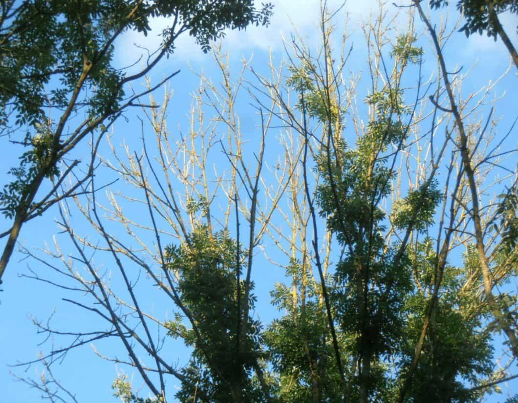 Crown dieback in a mature ash tree