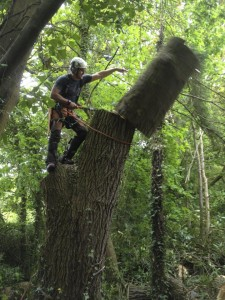 Chopping down a tree in Lymington